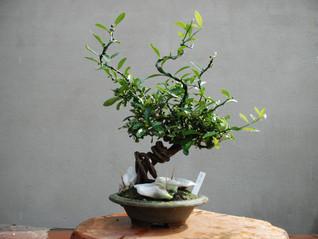これから盆栽を始める方、大歓迎です