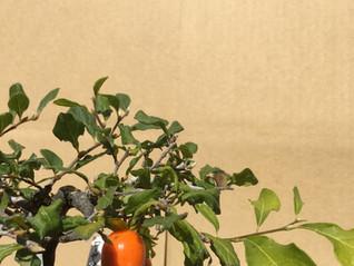 毎年恒例のローヤ柿