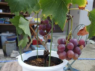 ブドウが食べ頃です