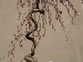 枝垂桜の一分咲き