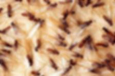 termites perth