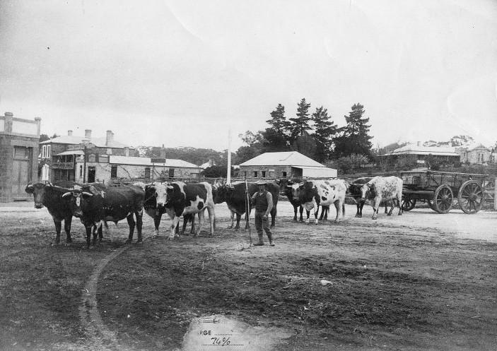 Jameson's Bullock Team 1909.jpg