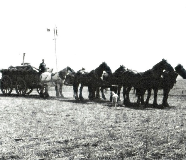 Wheat carting with horse team