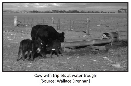Cow with Triplets at Water Trough.png