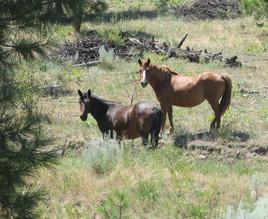 Wild Horses - Okanagan Valley, BC Canada