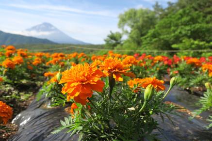 Flowers and Fuji - Mt. Fuji, Japan