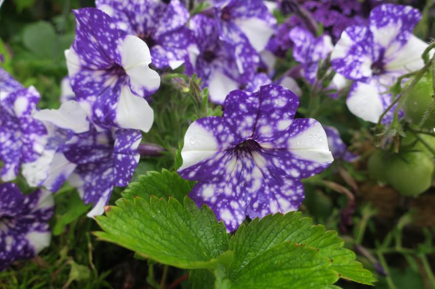 Purple Focus - Vancouver, BC Canada