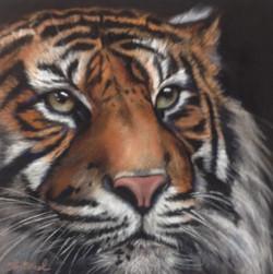 """""""Tiger"""""""