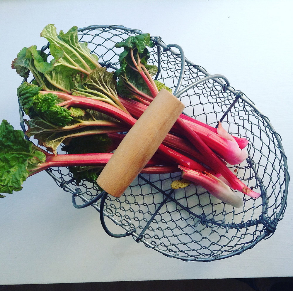 Forced Rhubarb Collected from Colstoun Walled Garden