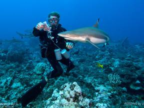 """La Polynésie, sanctuaire intégral des requins, le """"shark feeding"""" y est désormais interdit"""