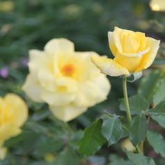 Rosa Fresia