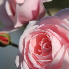 Rosa Nehema