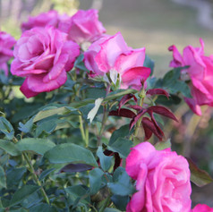 Rosa Fragrant Plum