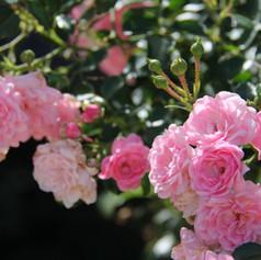 Rosa The Fairy