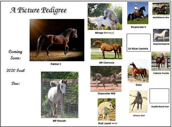 picture pedigree for shanah.jpg