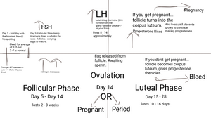 graph of the menstrual cycle from the author's notes