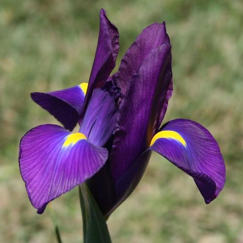 Bulbes d'Iris