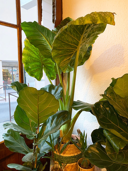 Plantes vertes sans cache pot - Grande