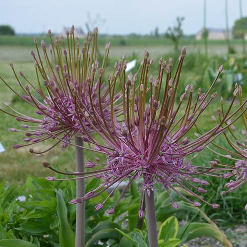 Bulbes d'Allium
