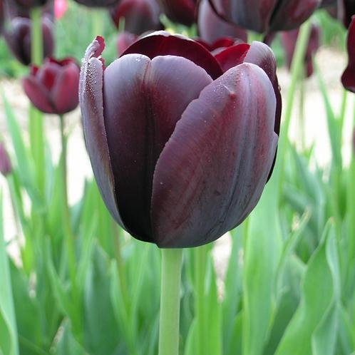 Bulbes de Tulipes
