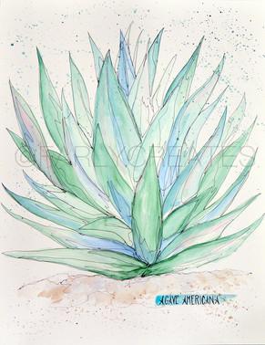 Agave Succulent.