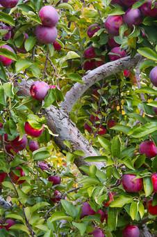 Vermont Apples Orchard.jpg