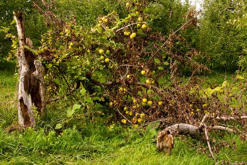 Vermont Apple Tree.jpg