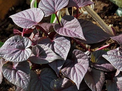 Organic Purple Sweet Potato Leaf (200g)