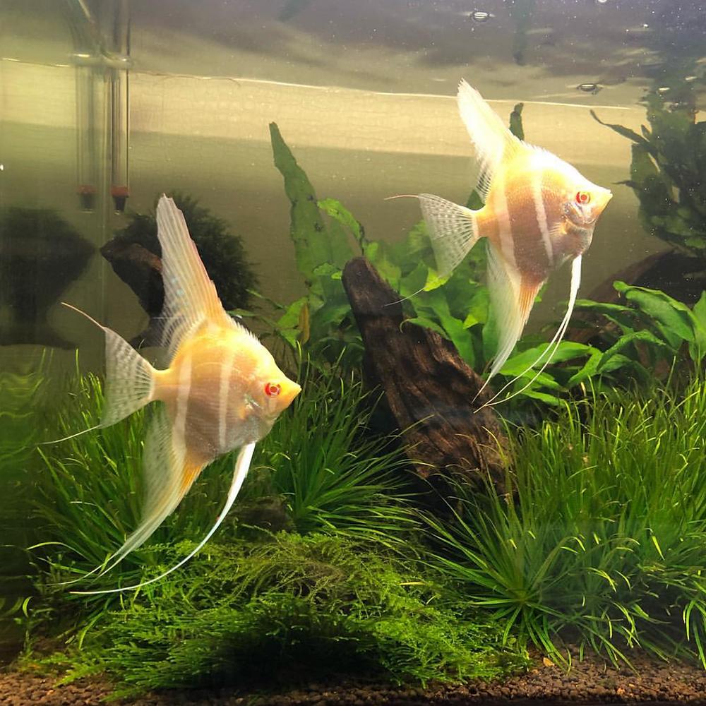 Dantums angelfish breeder aquarium plants