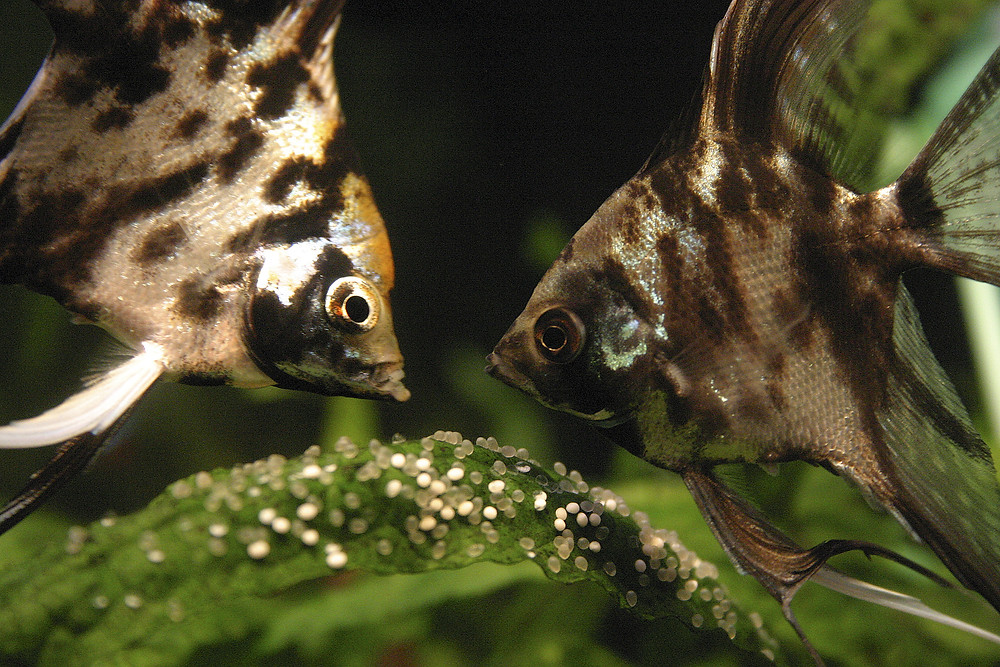 Angelfish doting on their clutch of eggs in an aquarium on a plant
