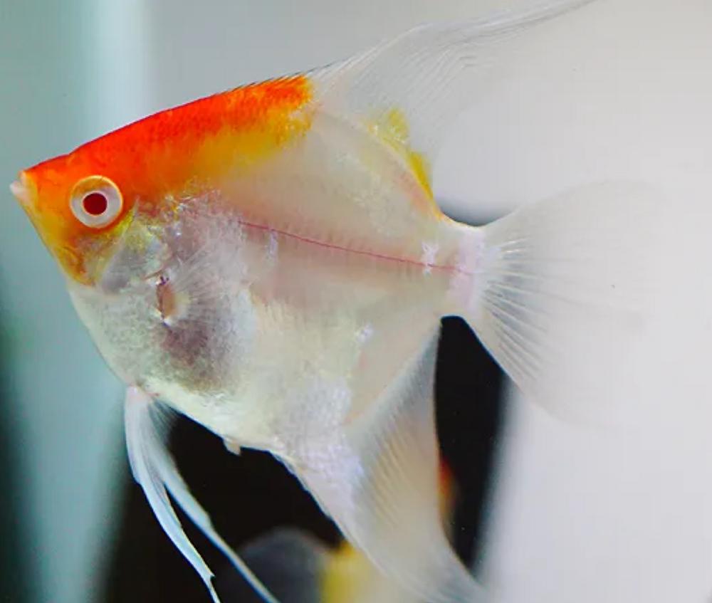 sunset albino angelfish