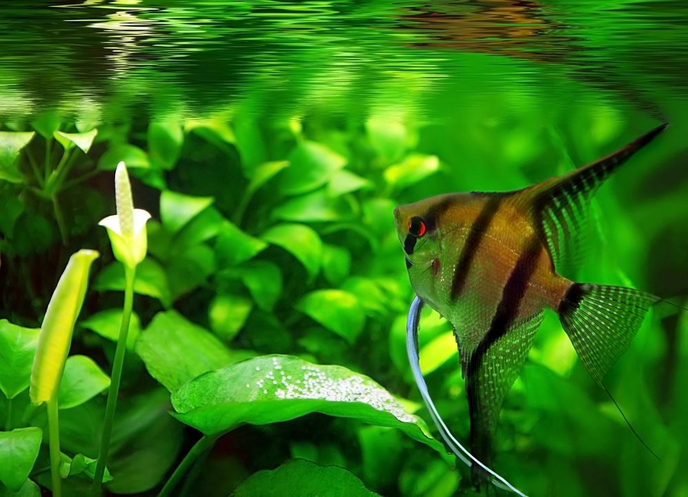 Angelfish Eating Their Eggs Eggs Turning White Here S Why,Types Of Shrubs In New England