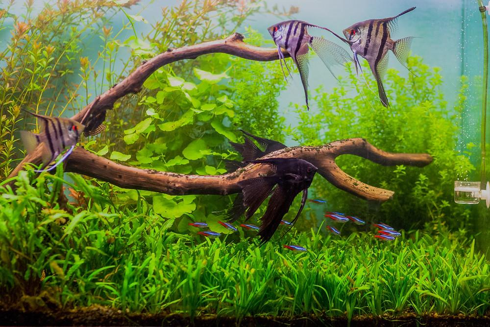 Veiltail angelfish breeder aquarium plants
