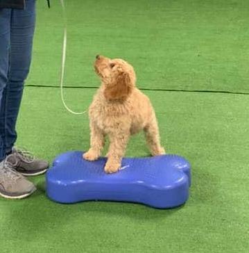 Oct Puppy Class - 3-6 months (Mon) FULL