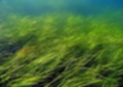 Seagrass3.png