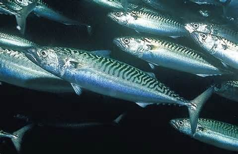 MackerelSwimg.png