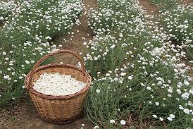 chamomile_medicinal_plants_nature_garden-1361531.jpg