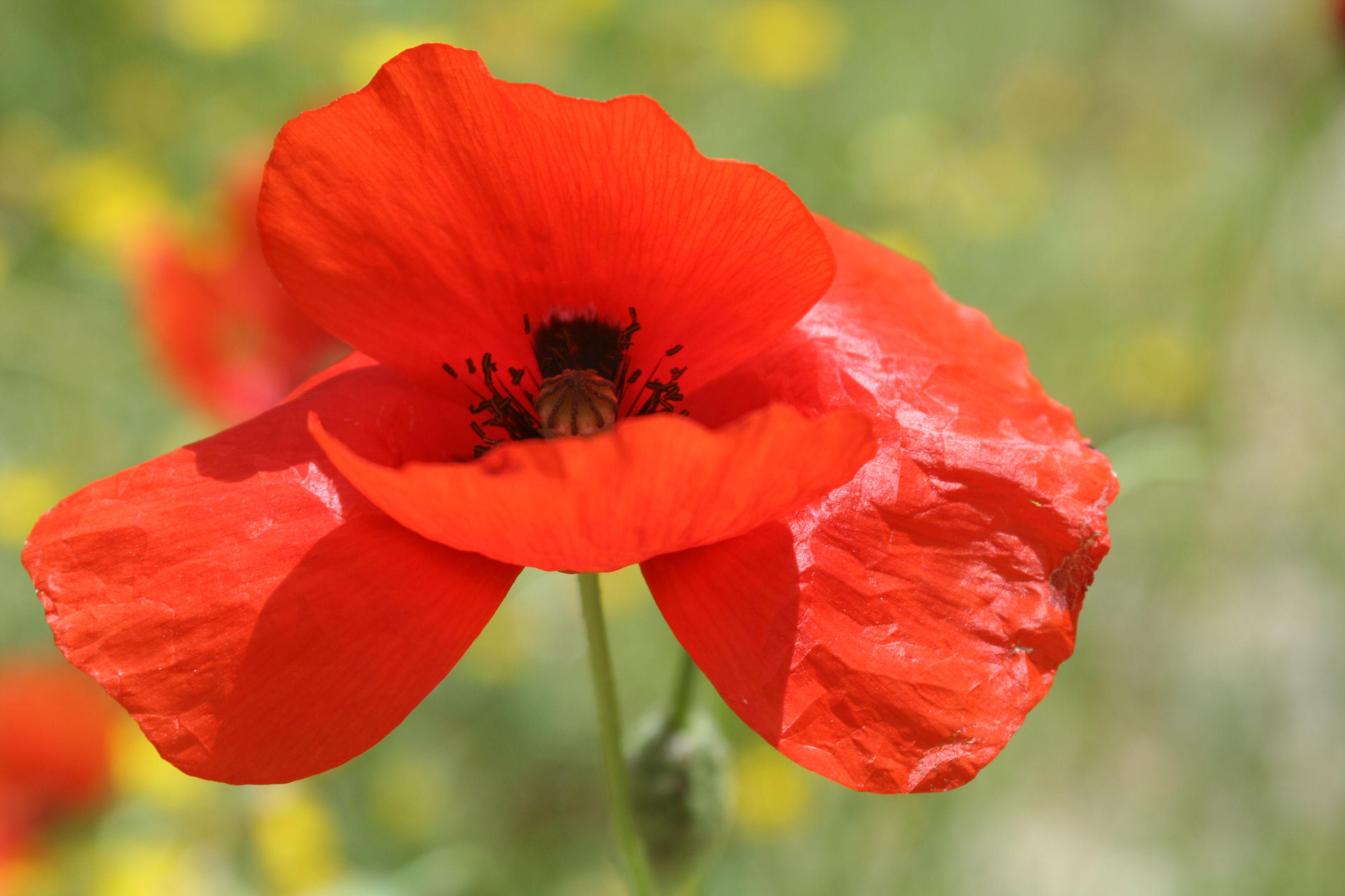 Poppy, Cappdocia