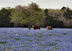 Field of Blue with Cows