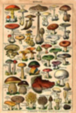 mushrooms-illustrations.jpg