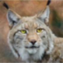 animal lynx chat sauvage carnivore yeux jaunes gros plan face félin fourrure mammifère moustache liberté nature, photo traitée et modifiée effet crayon, source : pexels.com