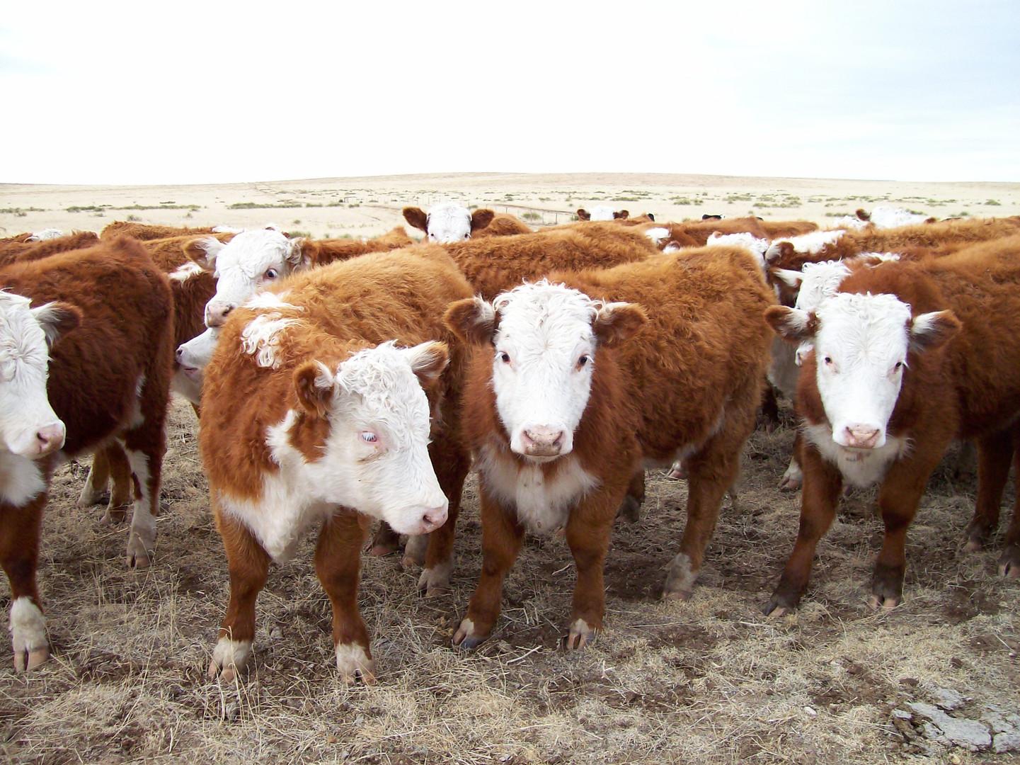 Sneed-Pool Cattle herd 2017