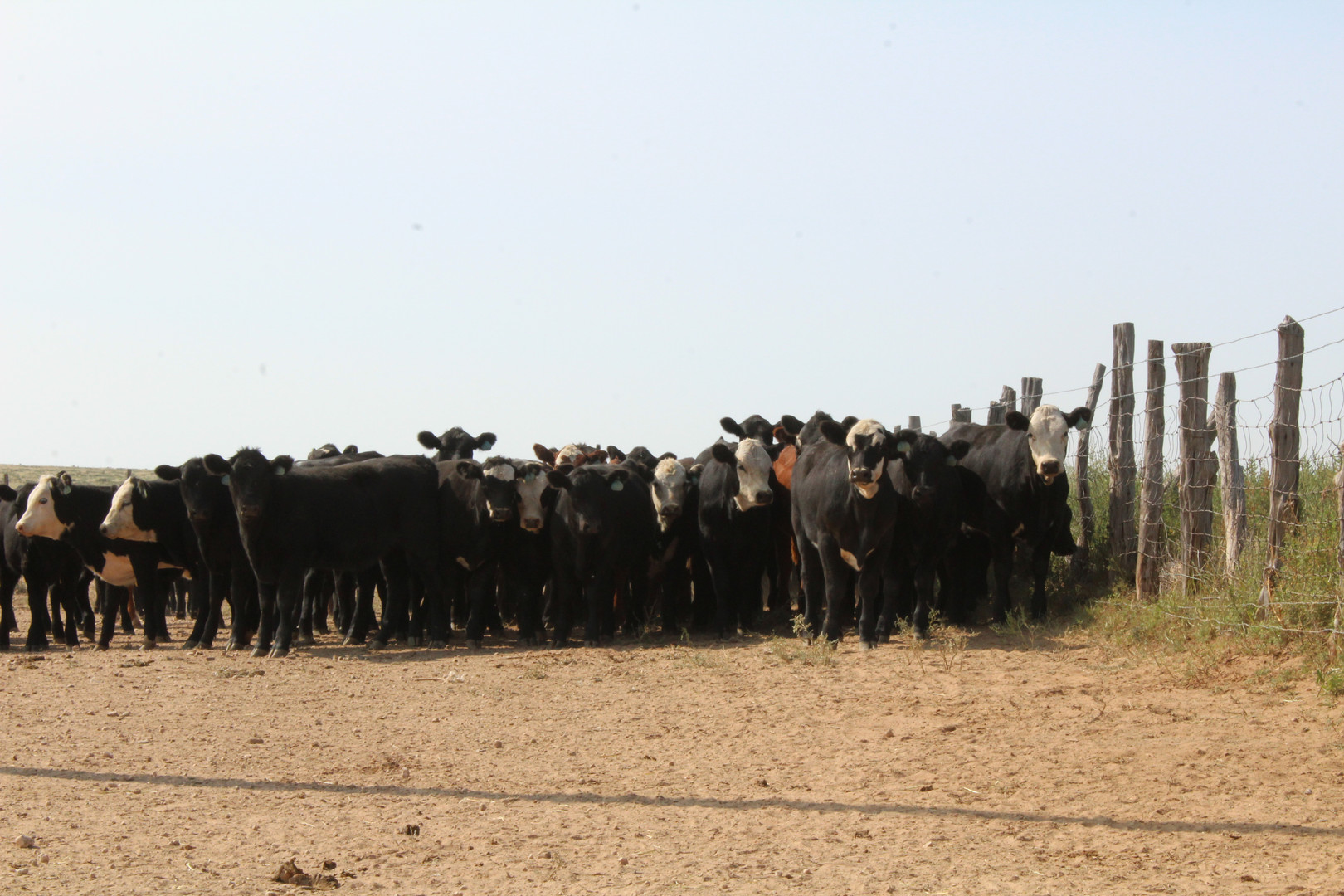 Sneed-Pool Cattle heifers 2020