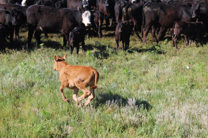 Sneed-Pool Cattle herd 2019