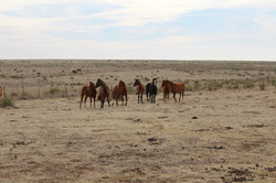 Sneed-Pool Cattle horses