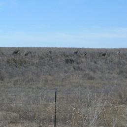 Sneed-Pool Wildlife Mule Deer Herd