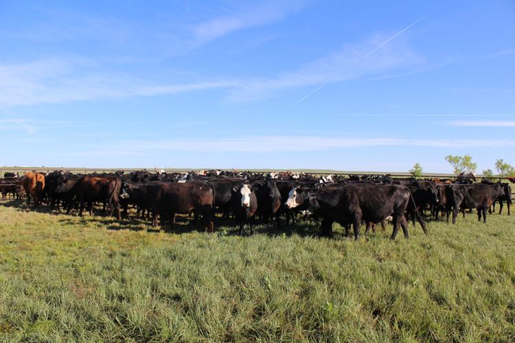 Sneed-Pool Cattle herd