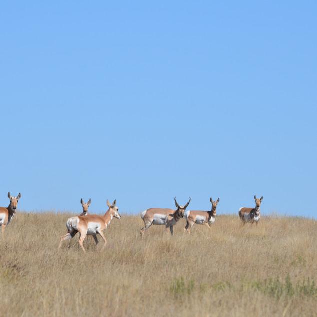 Sneed-Pool Wildlife Pronghorn Herd