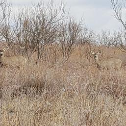 Sneed-Pool Wildlife Mule deer