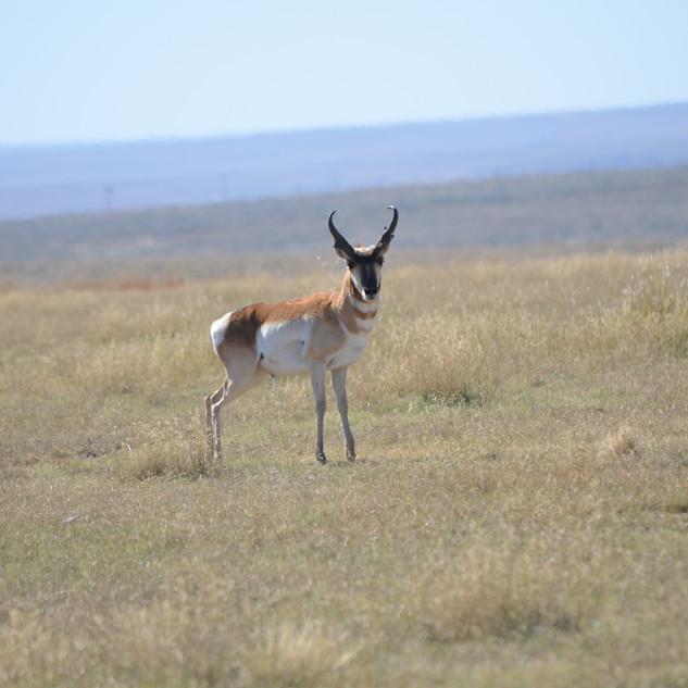 Sneed-Pool Wildlife Pronghorn Buck